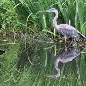 blue heron_naples florida_tropical birds in naples florida_bird watching in naples