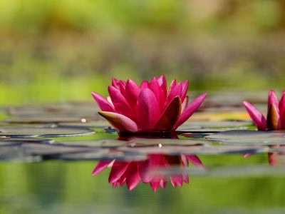 water lilies_naples botanical garden_naples florida